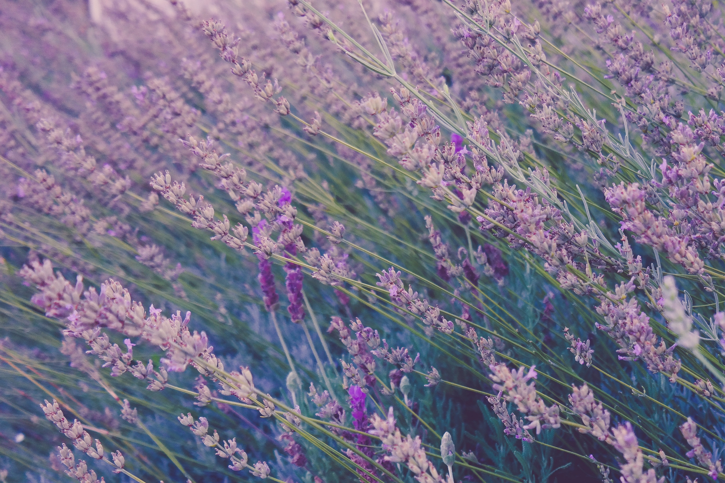 Special Event: Cotswold Lavender Tour and Talk
